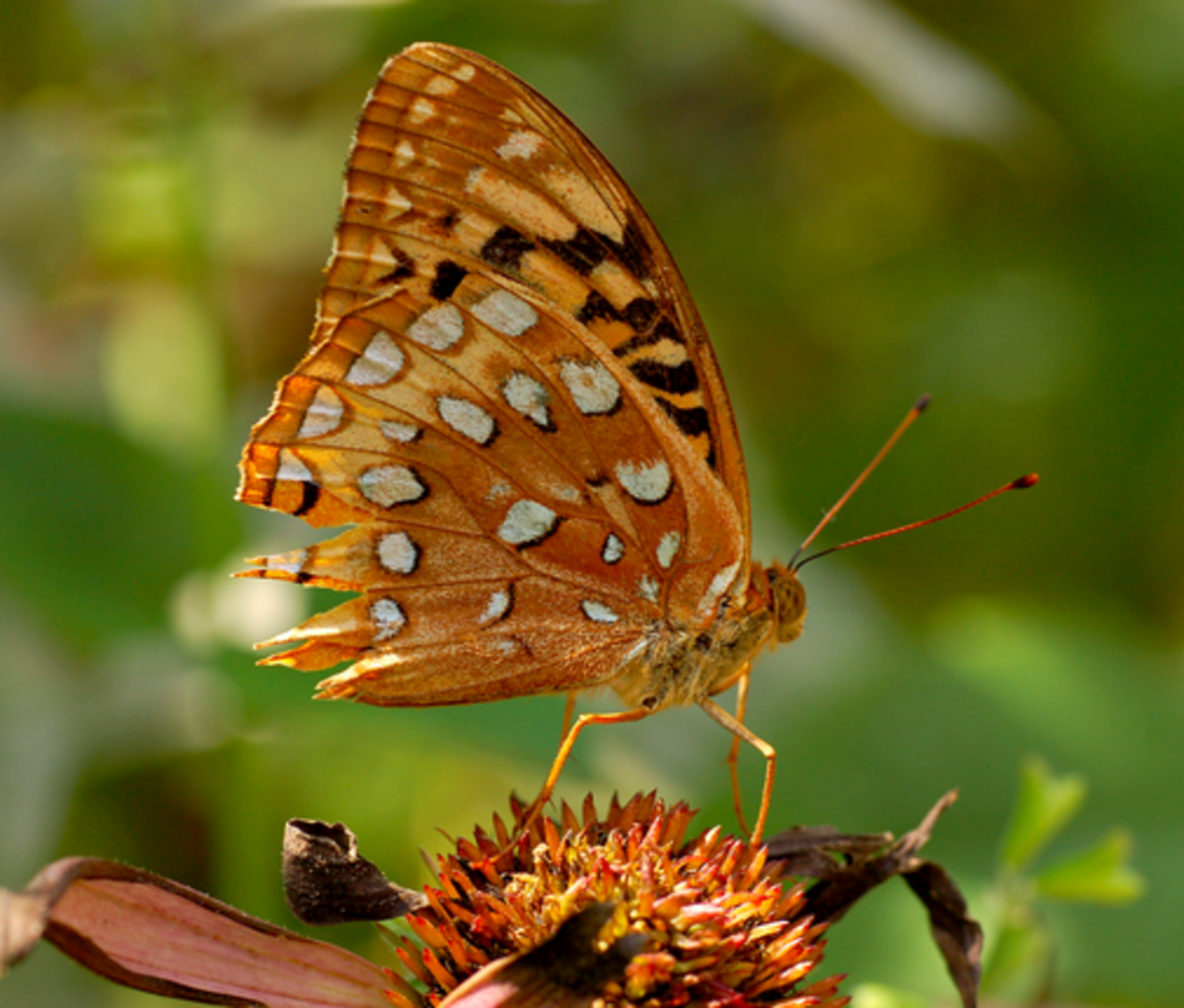 Great spangled fritillary underside