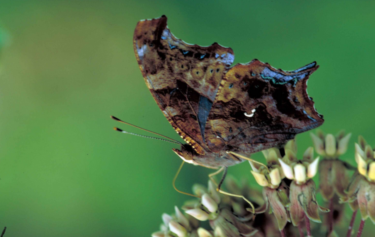Question mark butterfly showing underside