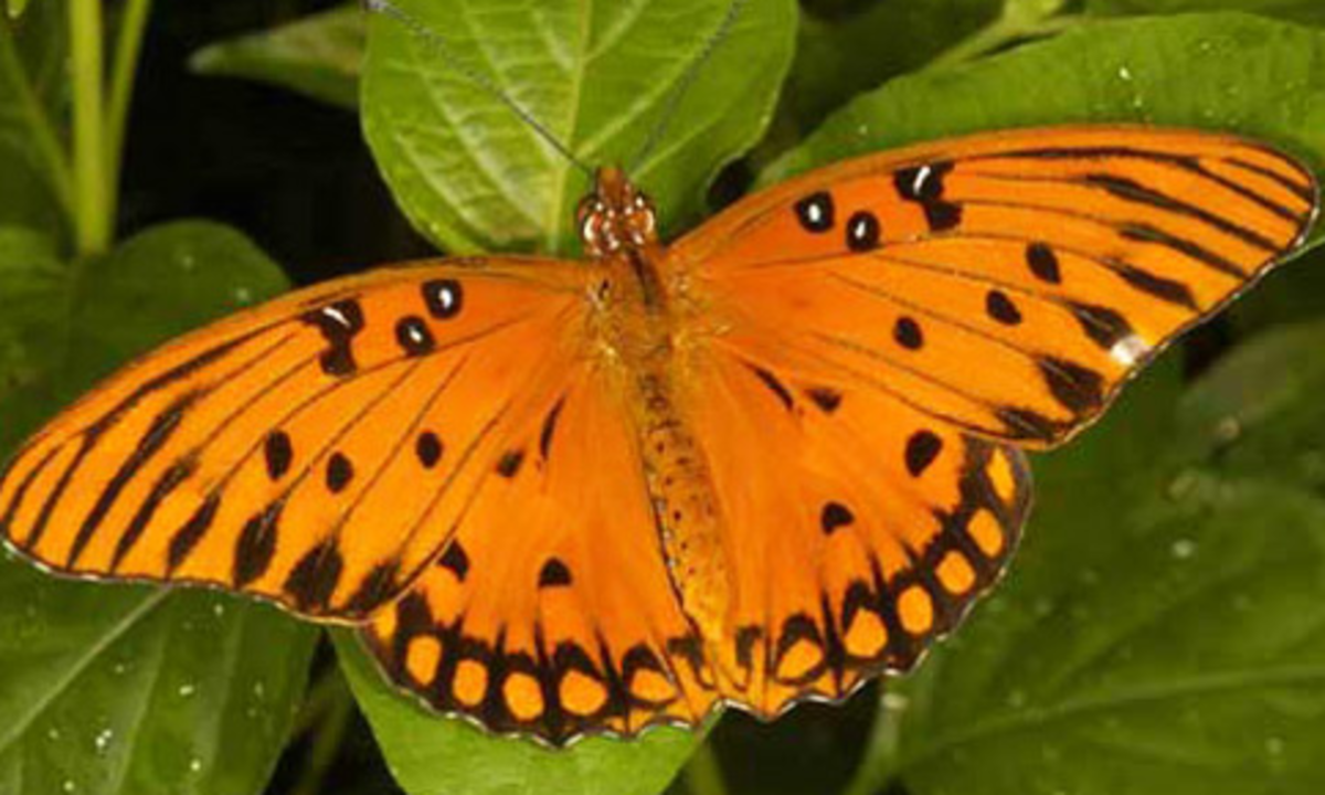 orange-butterfly-identification