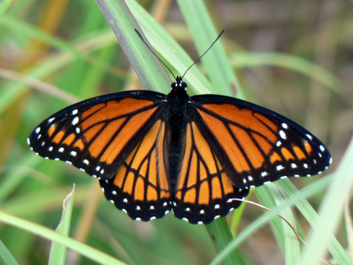 Viceroy upperside