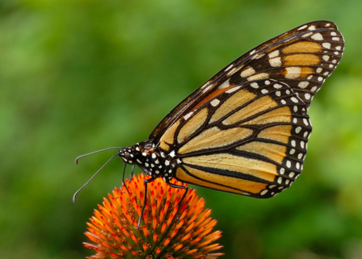 Monarch underside