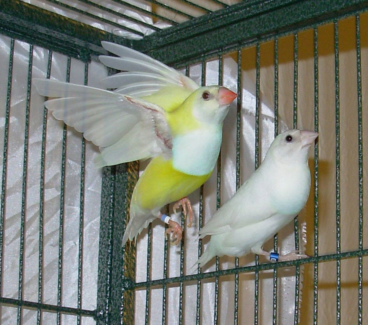 White Gouldian finch and yellow Gouldian finch mutation bred in captivity.