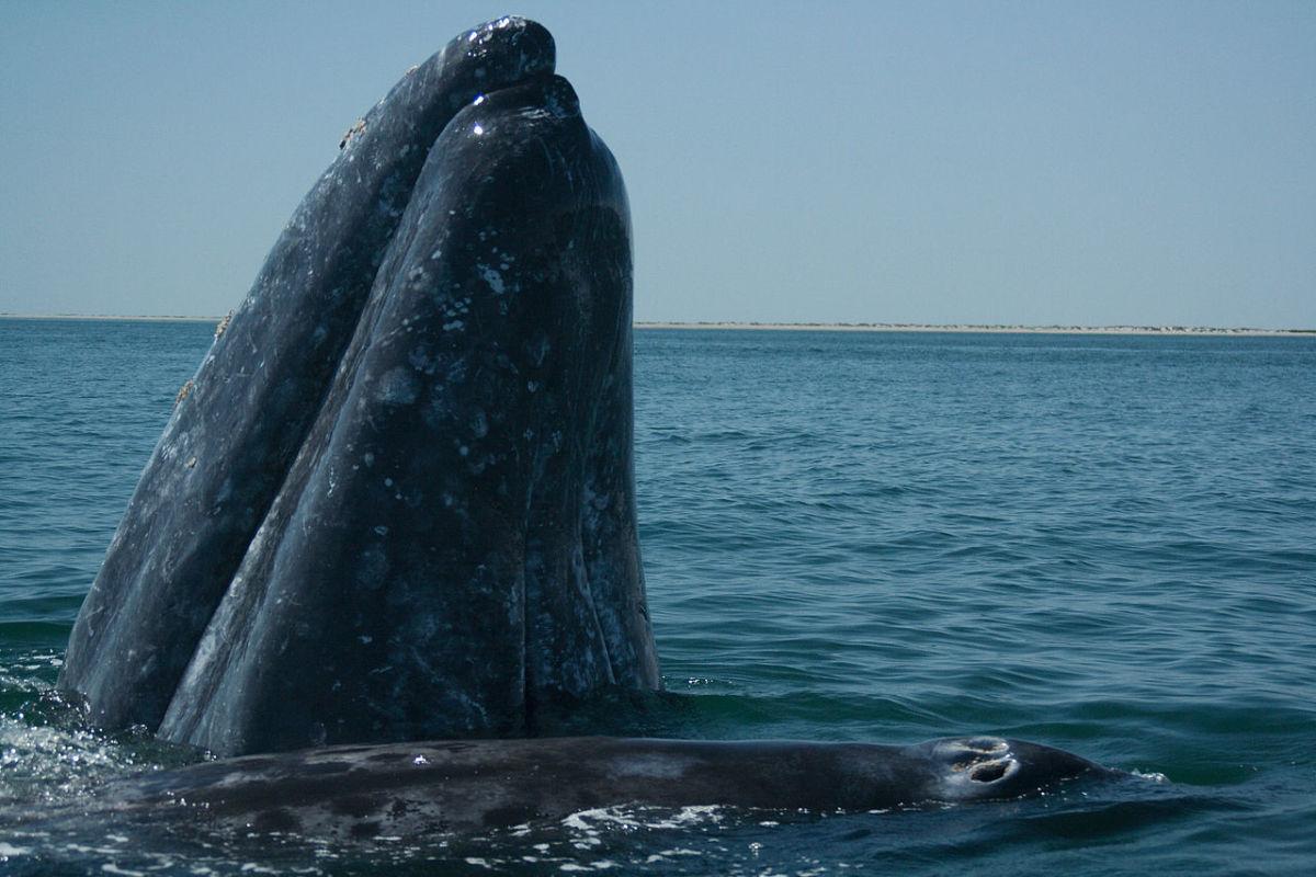 Gray Whale surfacing.