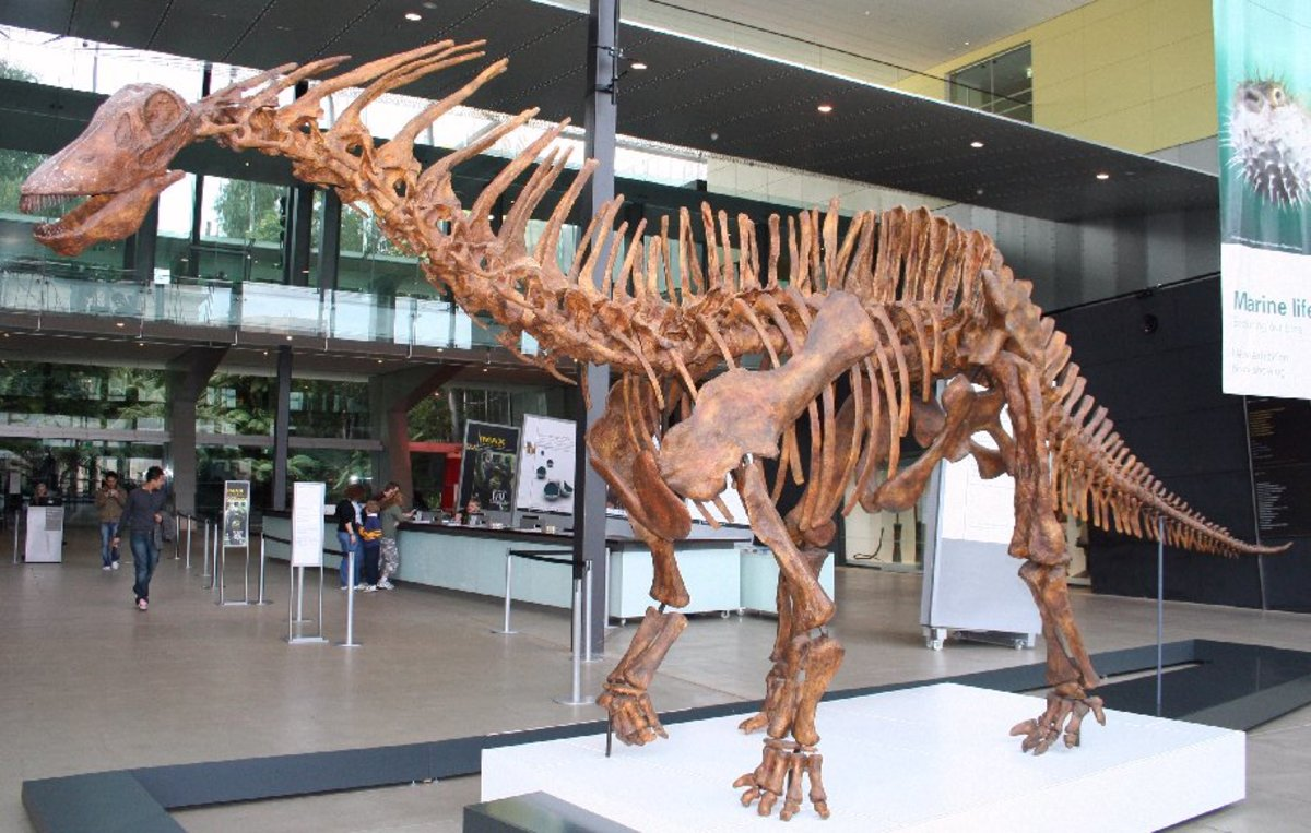 A skeletal cast of Amargosaurus