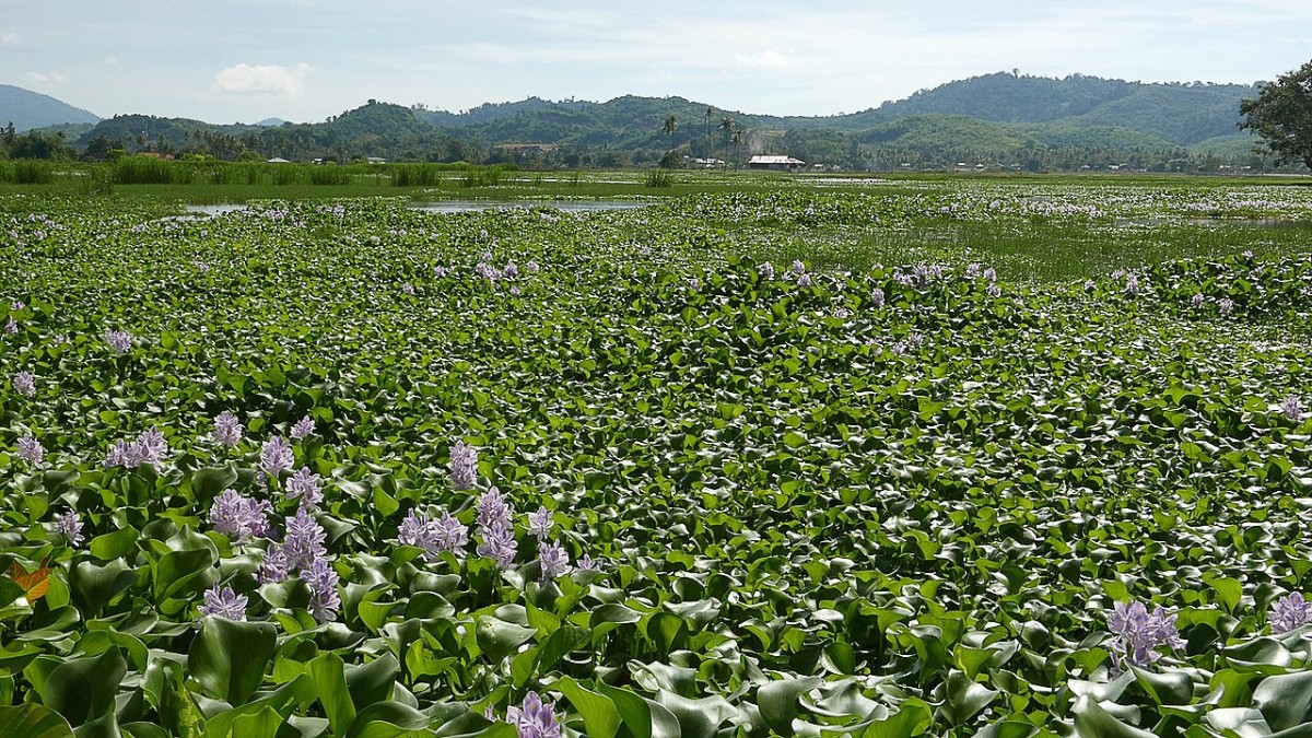 A swamp filled with water hyacinth plants