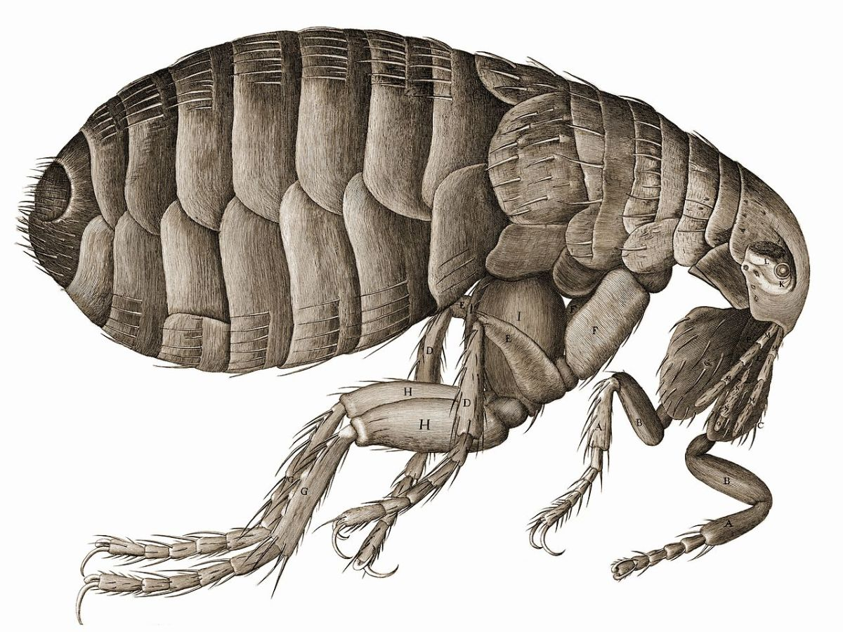 """Drawing of a flea from Micrographia. Hooke's first line of the description of the figure: """"The strength and beauty of this small creature, had it no other relation at all to man, would deserve a description"""""""