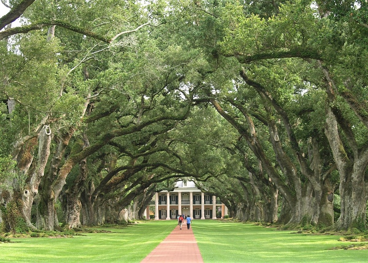 Oak Alley Plantation in Lousiana contains a walk bordered by Quercus virginiana, or southern live oaks