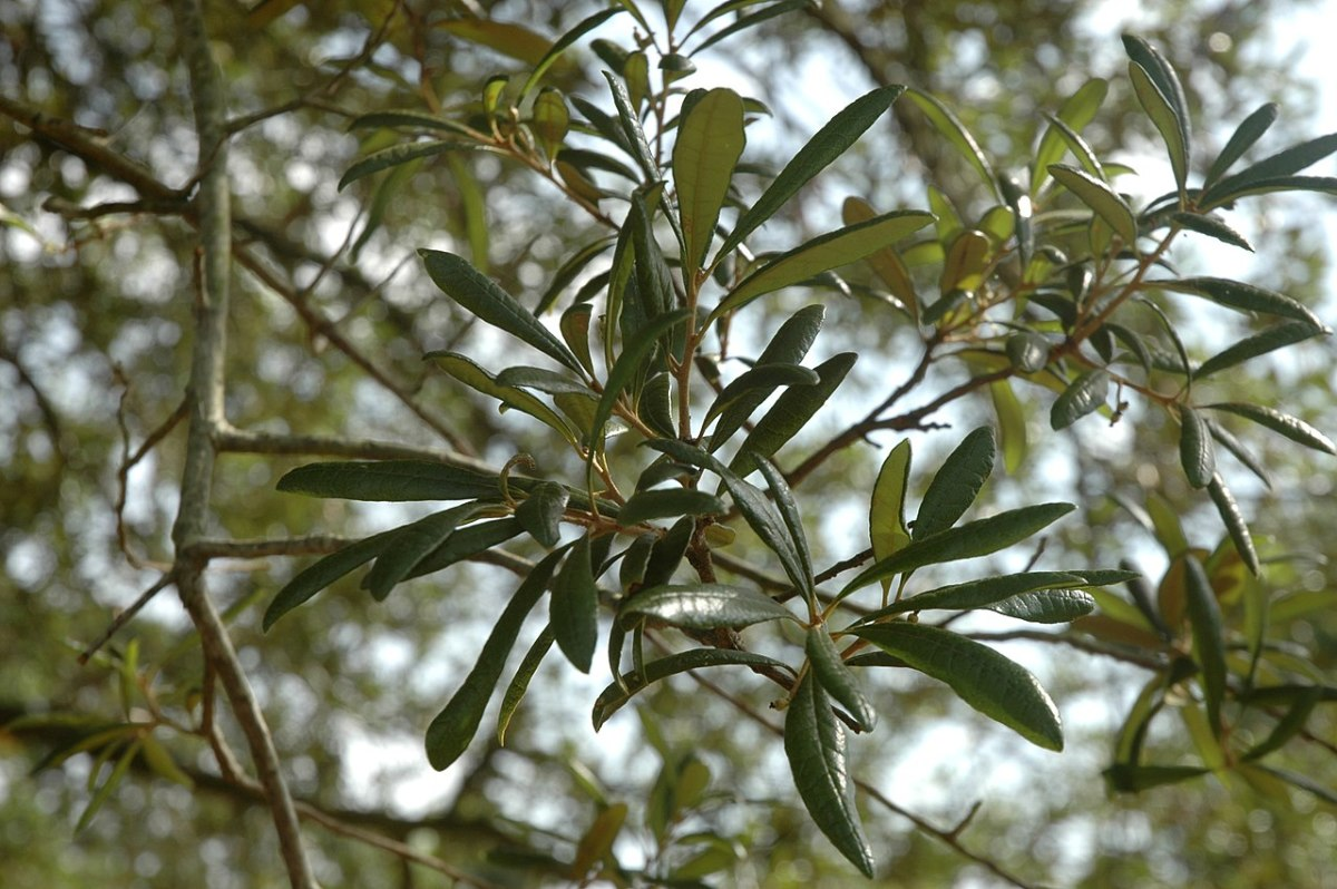 Quercus geminata or the sand live oak