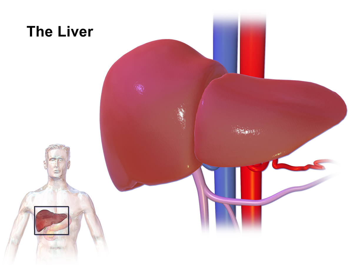 Location and shape of the liver
