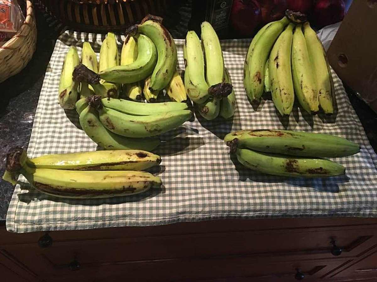 This might look like common bananas but these are the Gros Michel variety that vanished from the market.