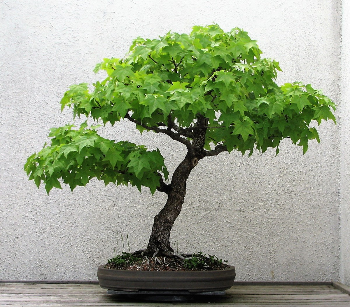 Sweet gum bonsai at the United States National Arboretum