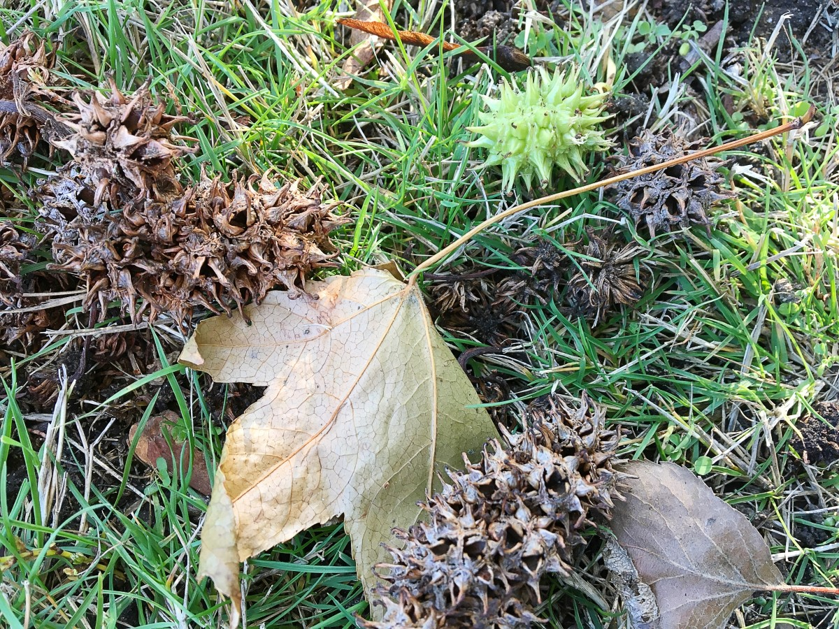 New and old sweet gum balls (The leaves in the photo aren't sweet gum ones.)