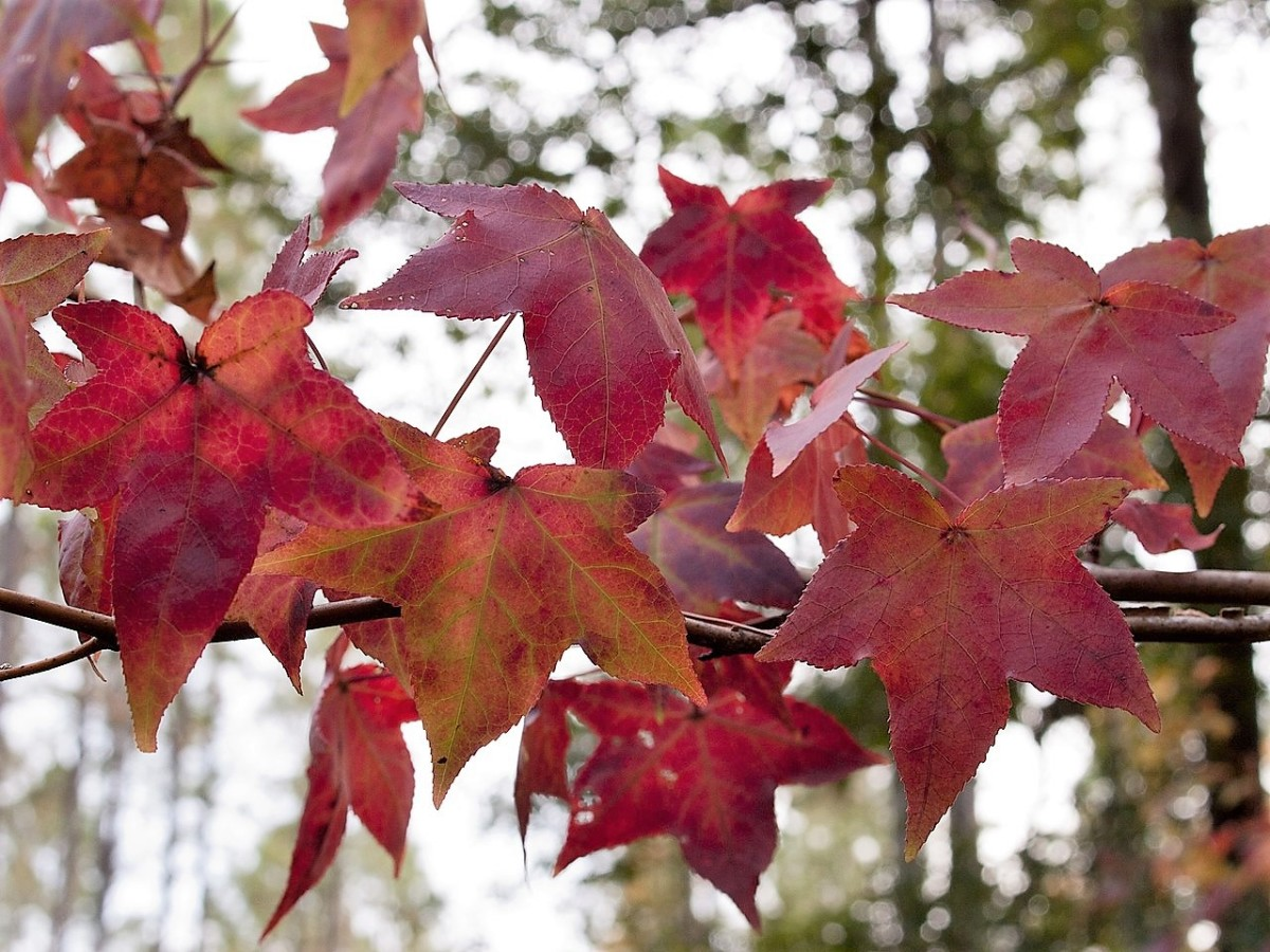 Colourful sweet gum leaves
