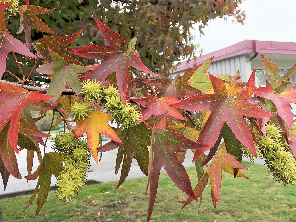 Sweet gum leaves and fruits on a tree near my home in October