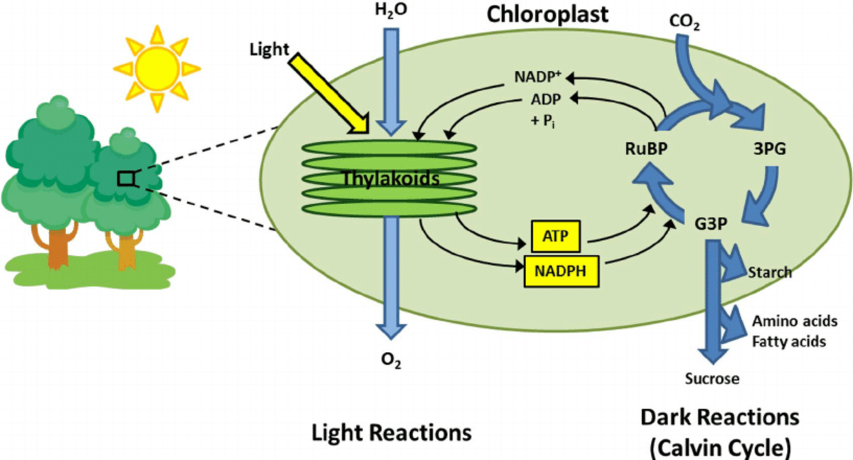 The photosynthesis cycle.