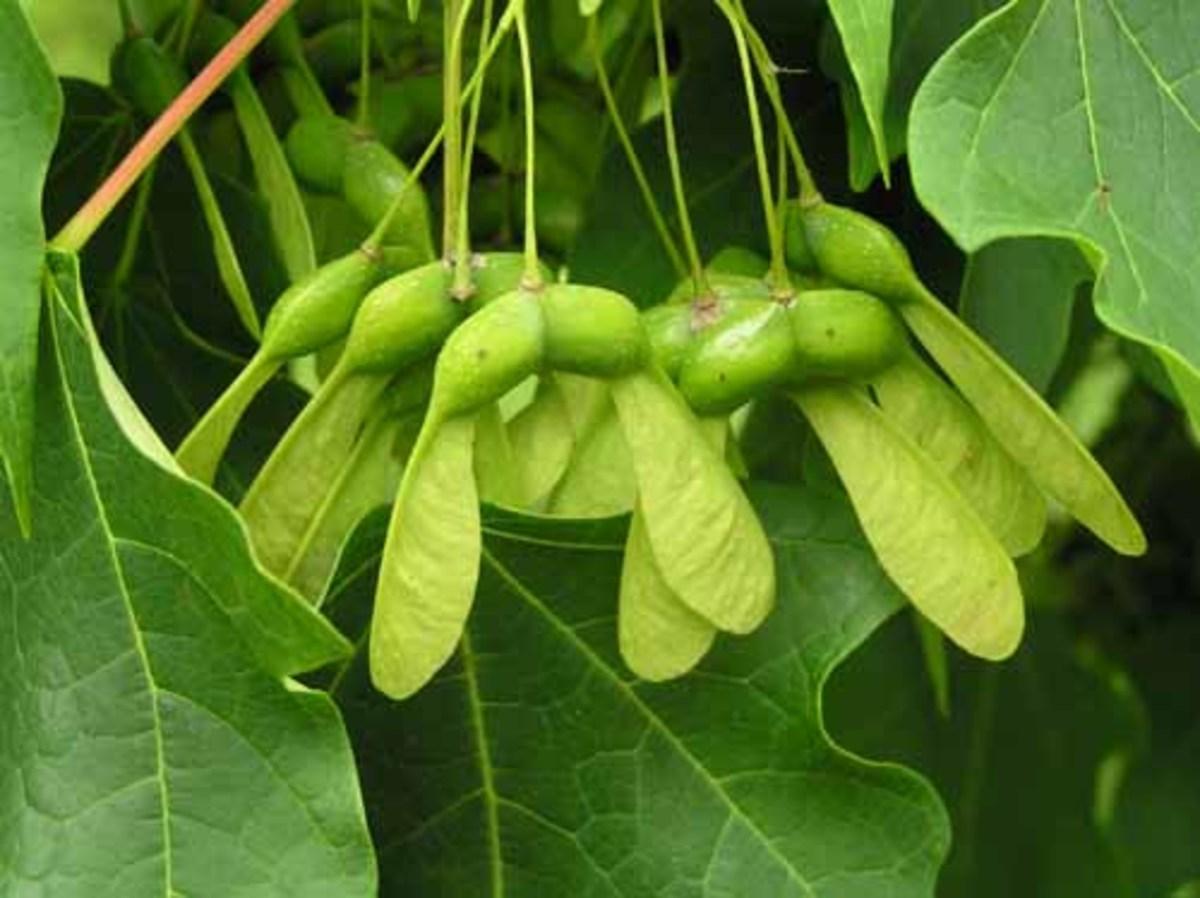 Sugar Maple Fruits