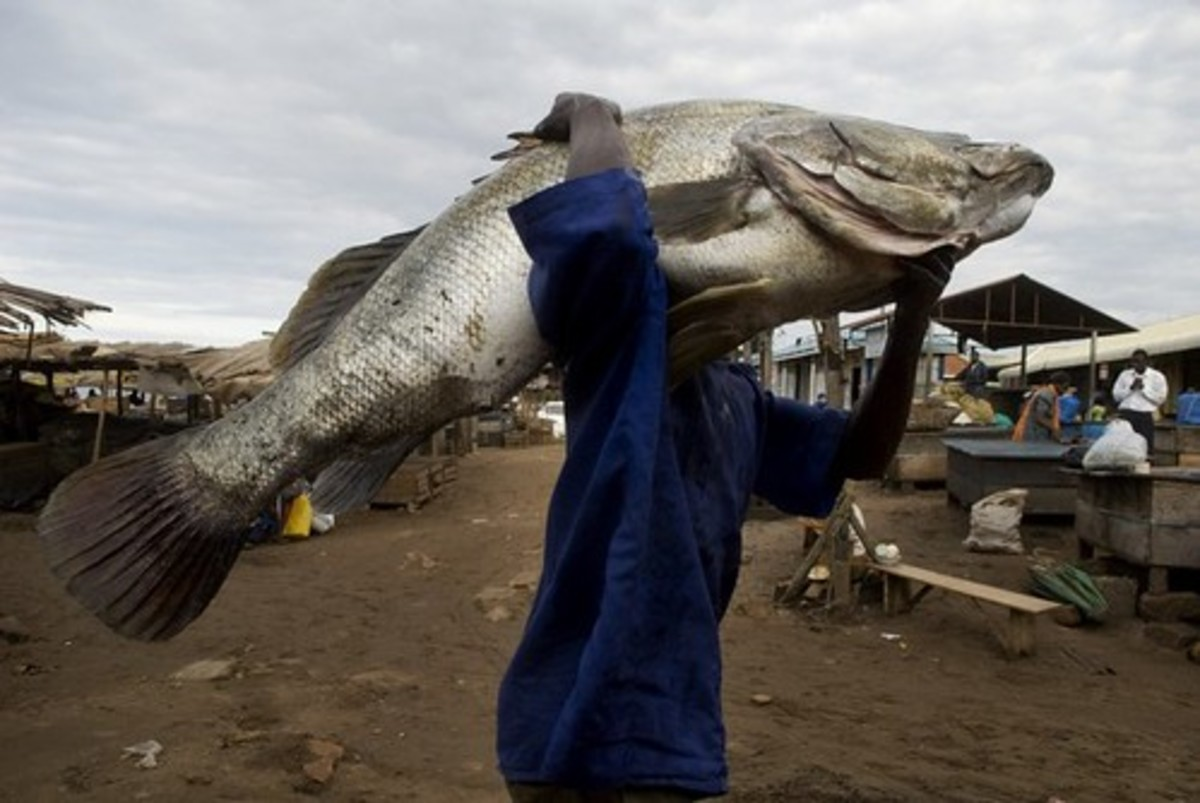 Nile perch; but you should have seen the one that got away.