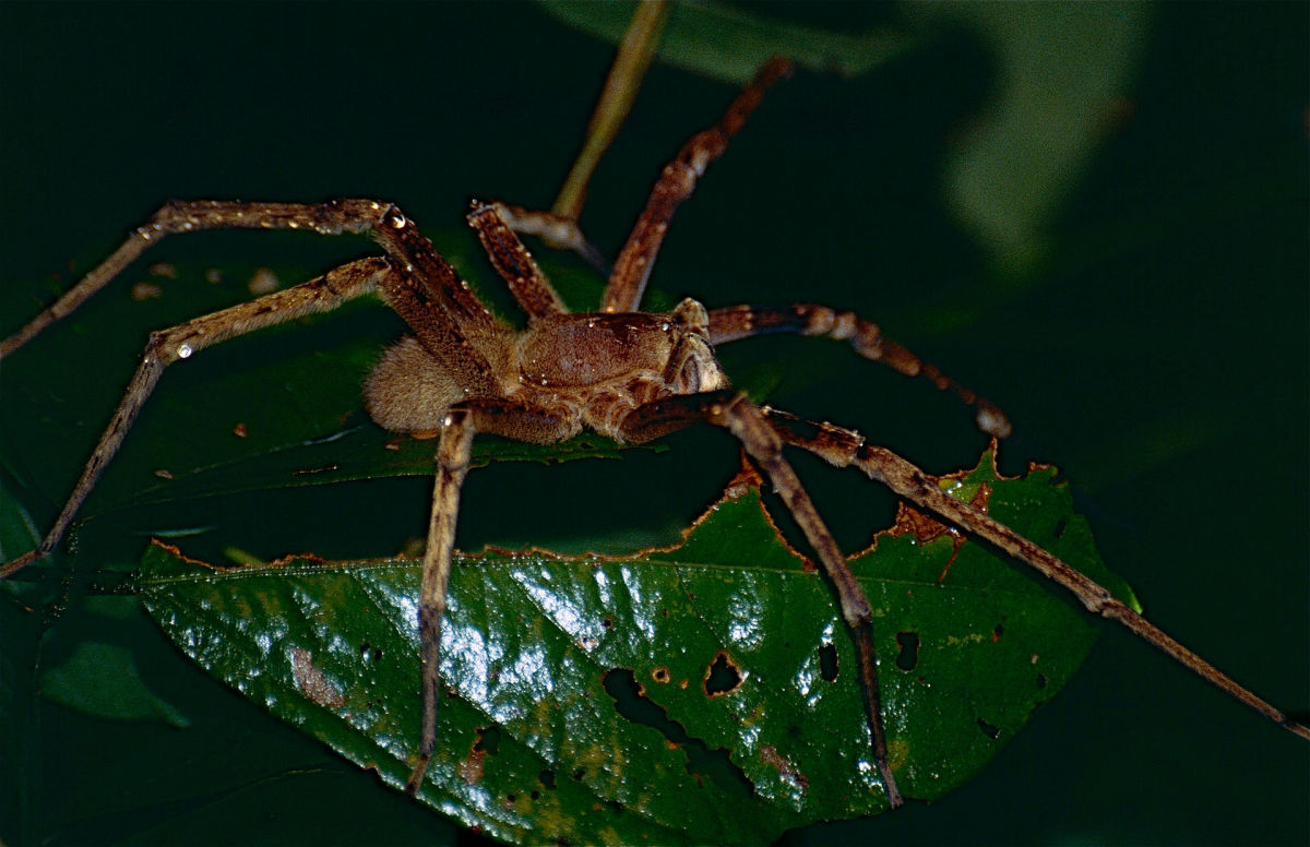 The highly-venomous and deadly Brazilian Wandering Spider.