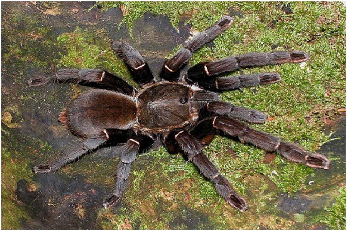 The massive Chinese Bird Spider.