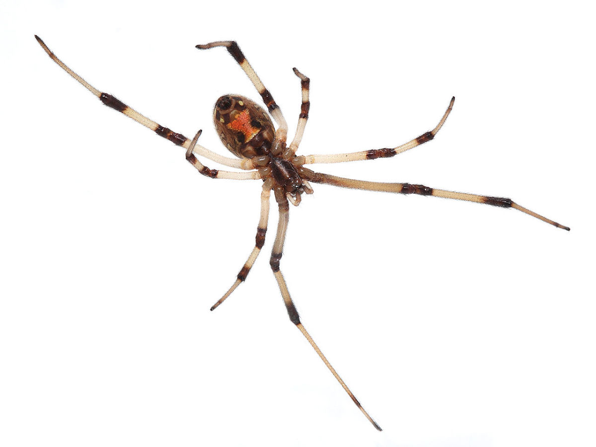 The infamous Brown Widow Spider.