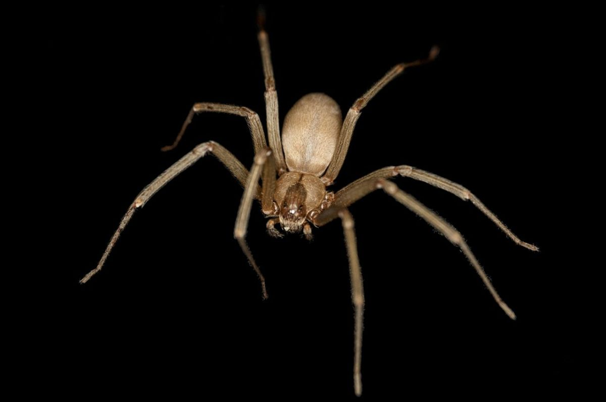 The highly-venomous Brown Recluse Spider.
