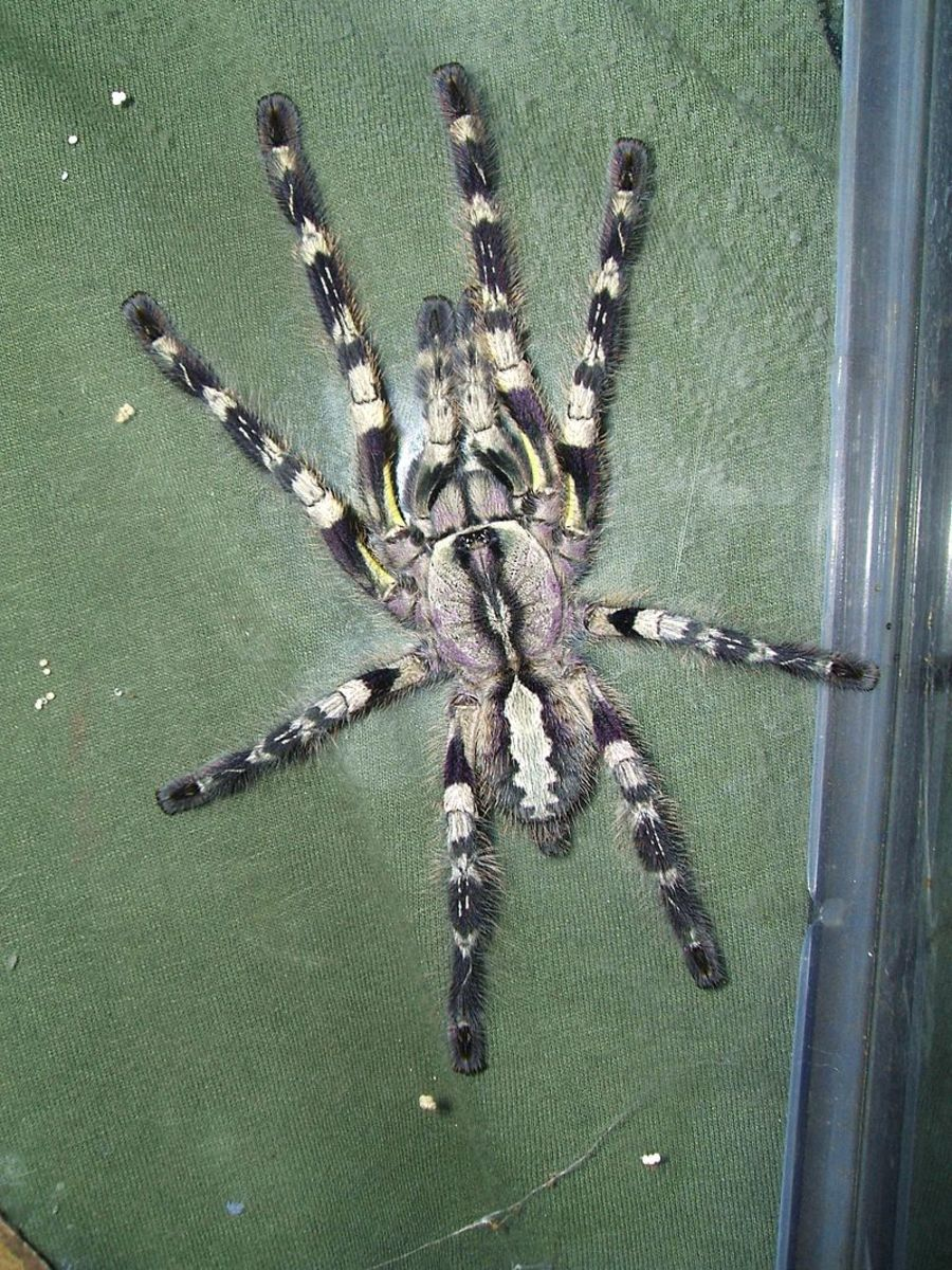 The massive Indian Ornamental Tarantula.