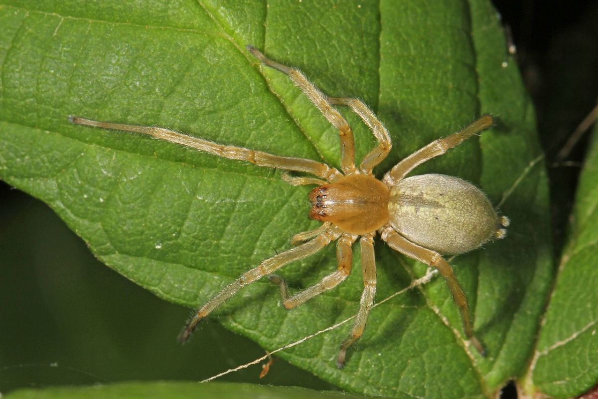The Yellow Sac Spider.