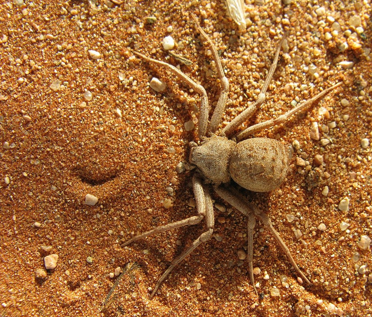 The highly-venomous Six-Eyed Sand Spider; the deadliest spider in the world.