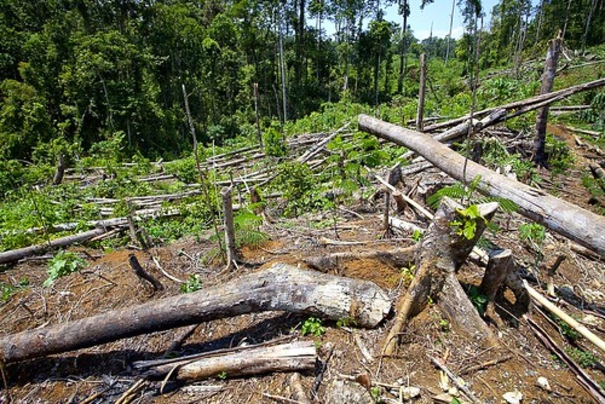 The Mindanao rainforest is threatened by logging, much of it illegal.