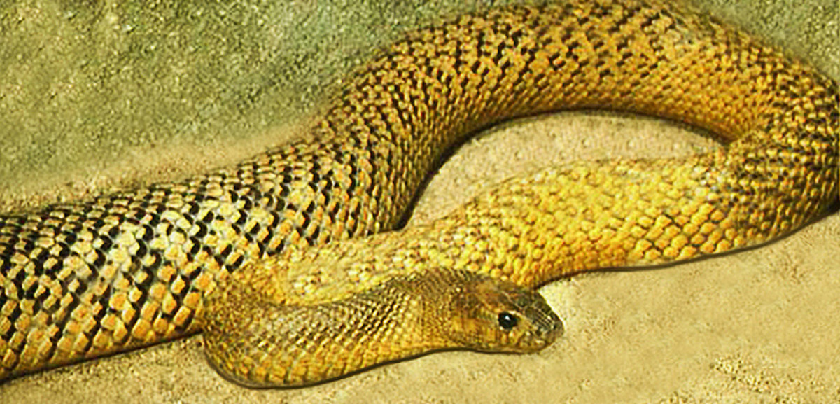 The Inland Taipan during the summer months; notice its green coloration which contrasts sharply with its darker (winter) coloration.