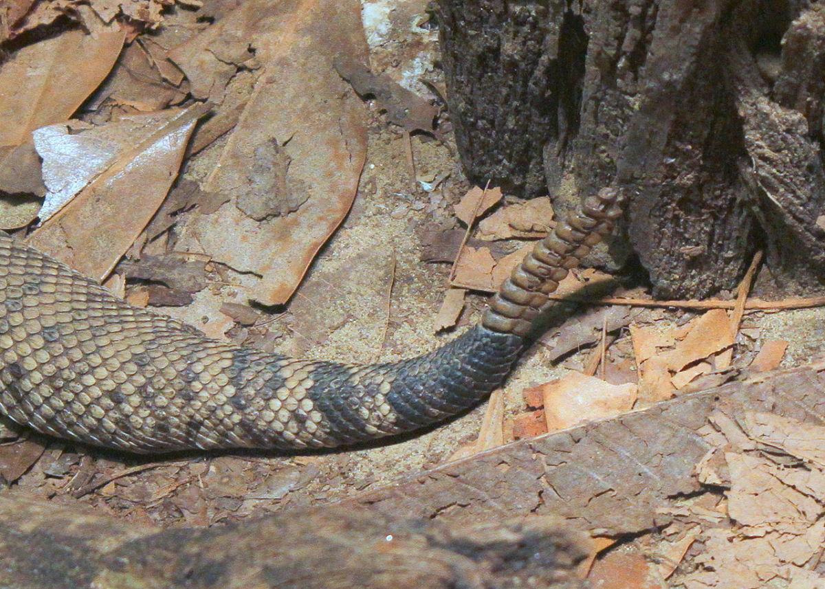 Eastern Diamondback's rattle; perhaps its most well-known feature.