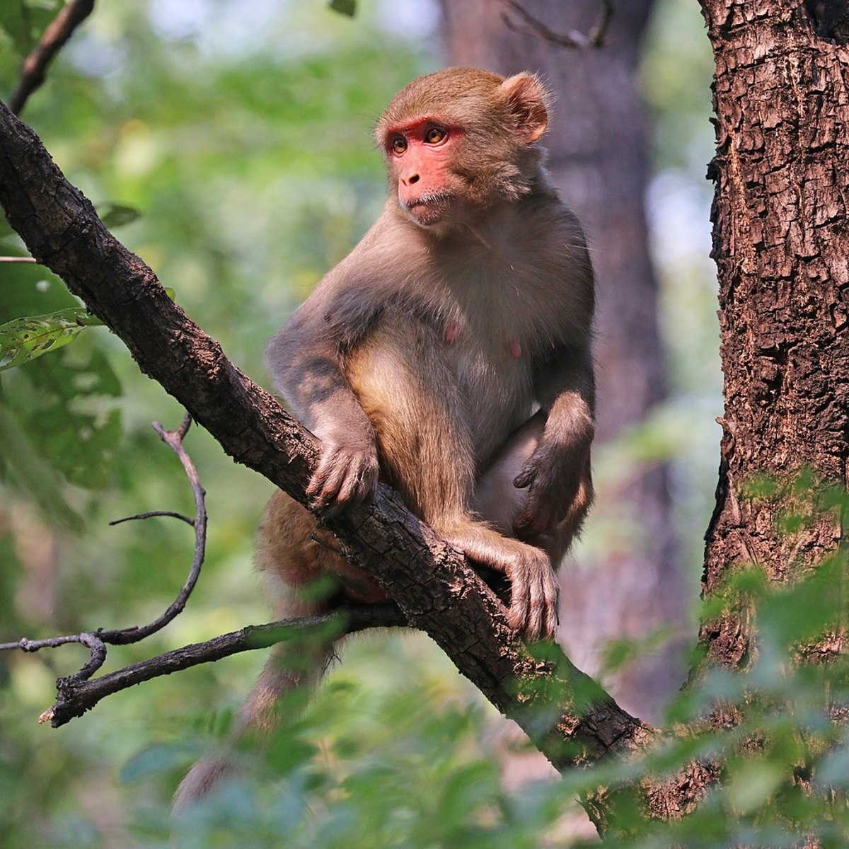 Macaque monkeys are often used in medical experiments because their nervous system closely resembles that of humans.