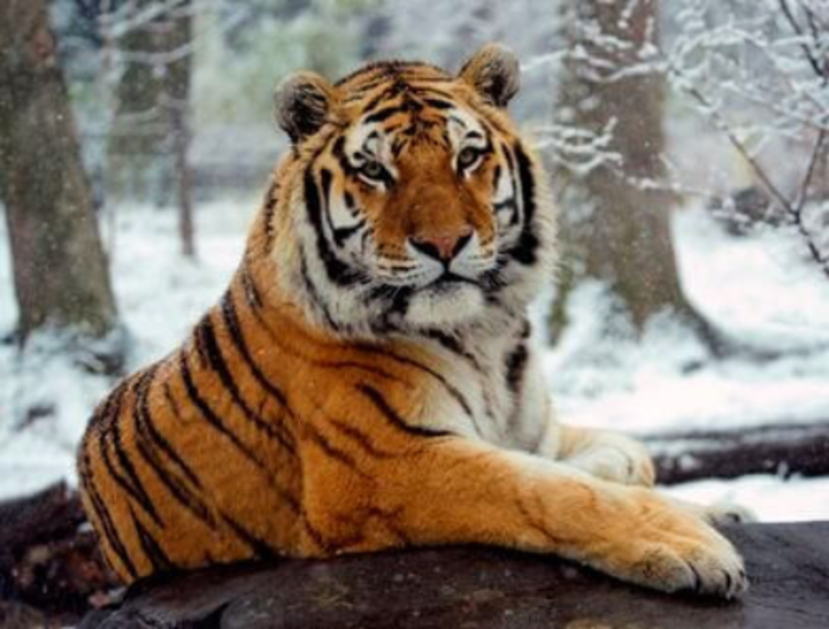 The Amur Cat is Huge!