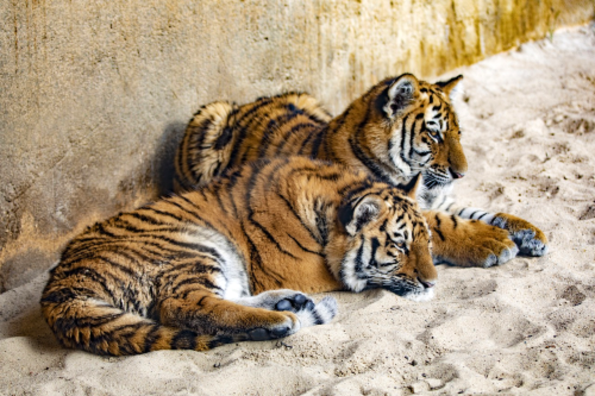 Brother and Sister Siberian Tigers