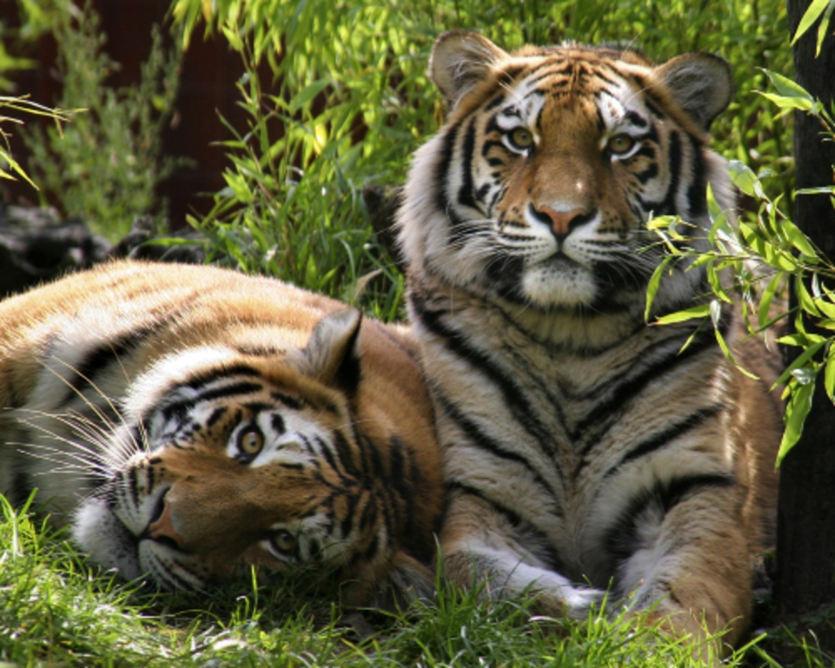 Male and female Siberian tigers