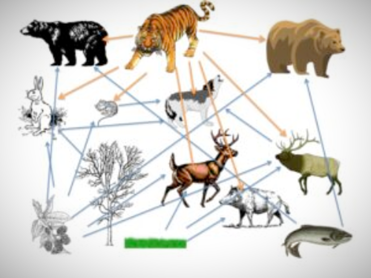 Food Web of Siberian Tigers Ecosystem. Amur tigers are at the top of their food chain
