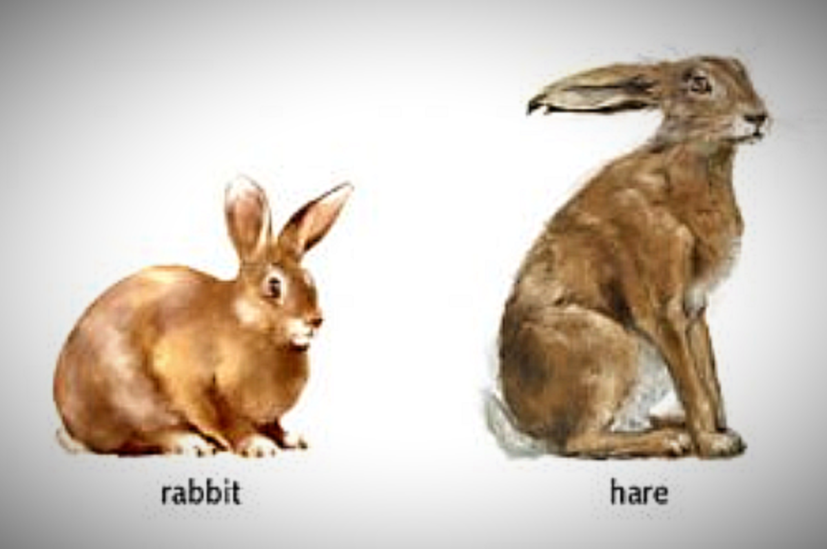 Tigers love rabbits and hares… but what is the difference between the two?