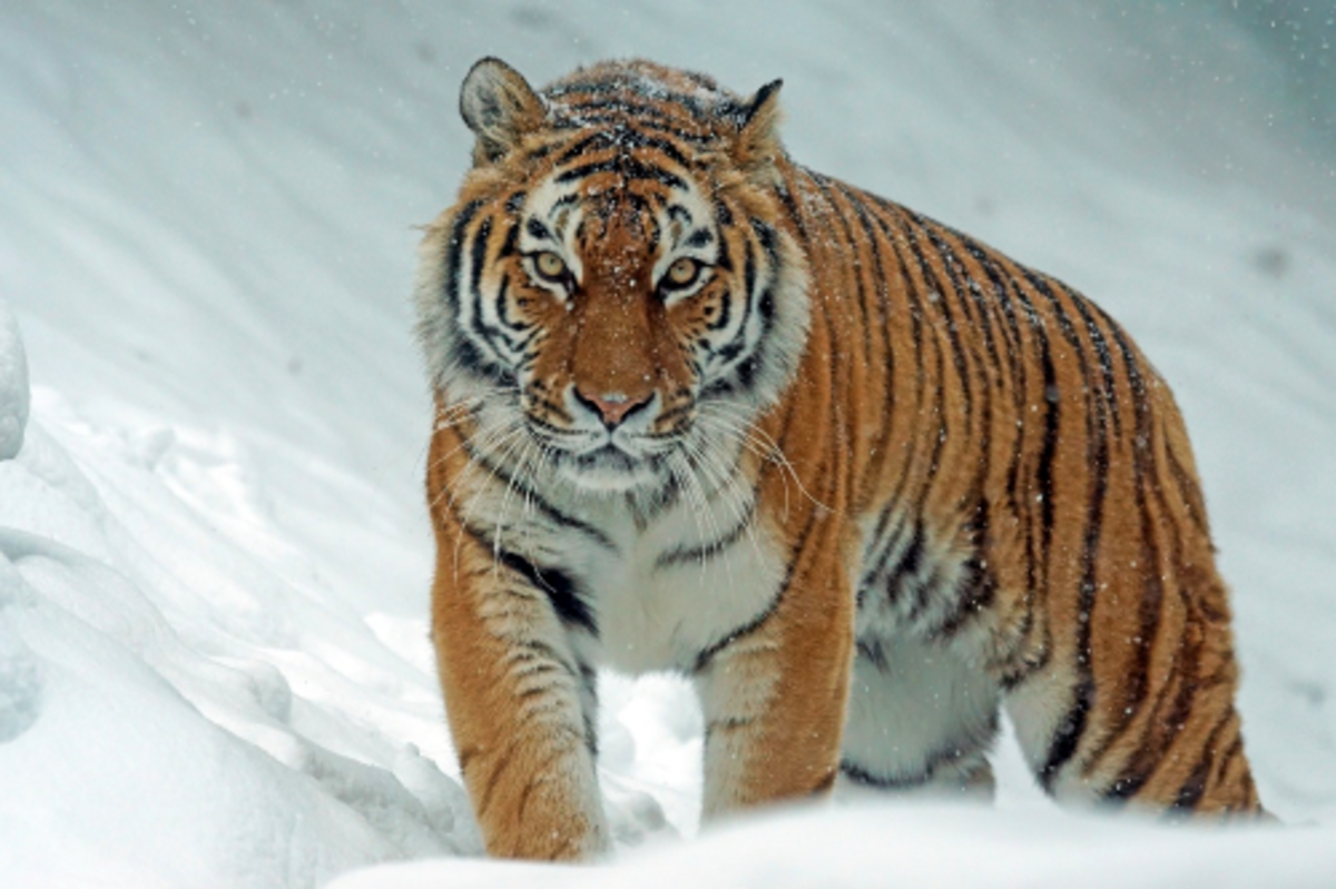 The Siberian tigers have moderately thick, coarse and sparse fur which helps them stay warm in snowy weather.