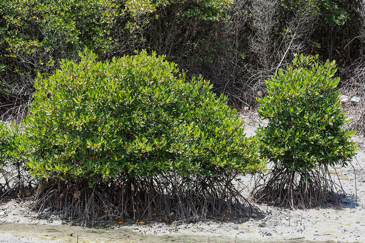 Indonesian Mangrove Forest is an example of a natural ecosystem.