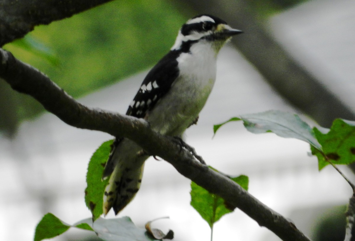 Downy Woodpeckers are easy to attract to your yard.