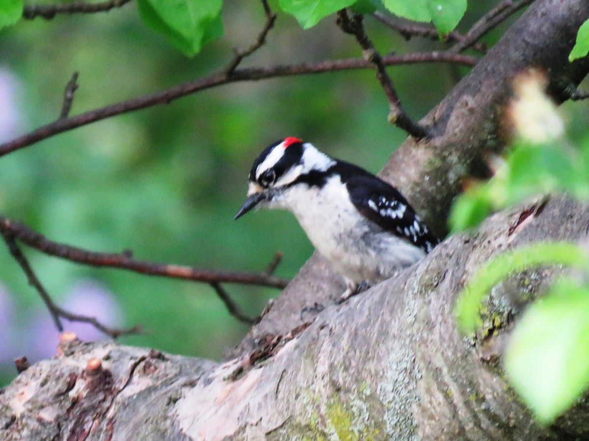 You can identify the male Downy Woodpecker by the red patch on his head.