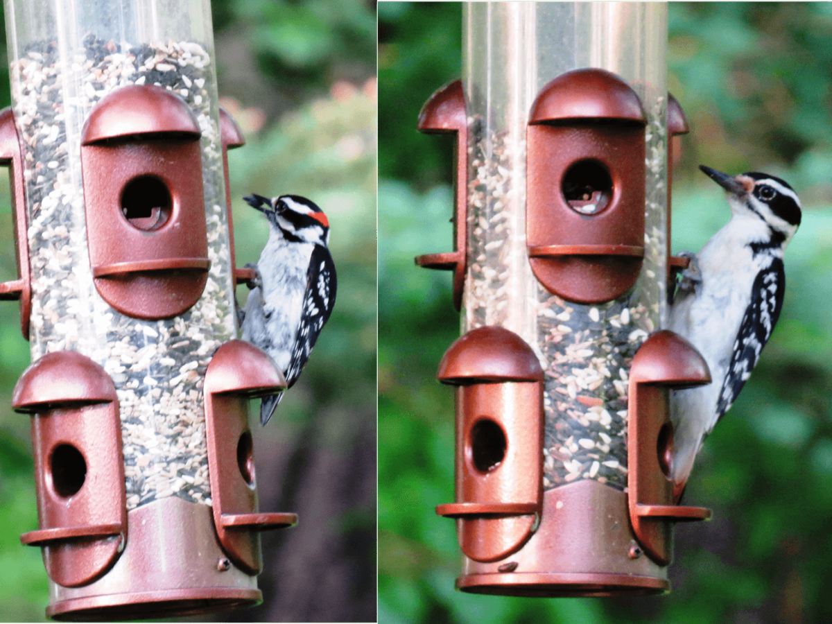 Downy Woodpecker (left) versus Hairy Woodpecker (right)