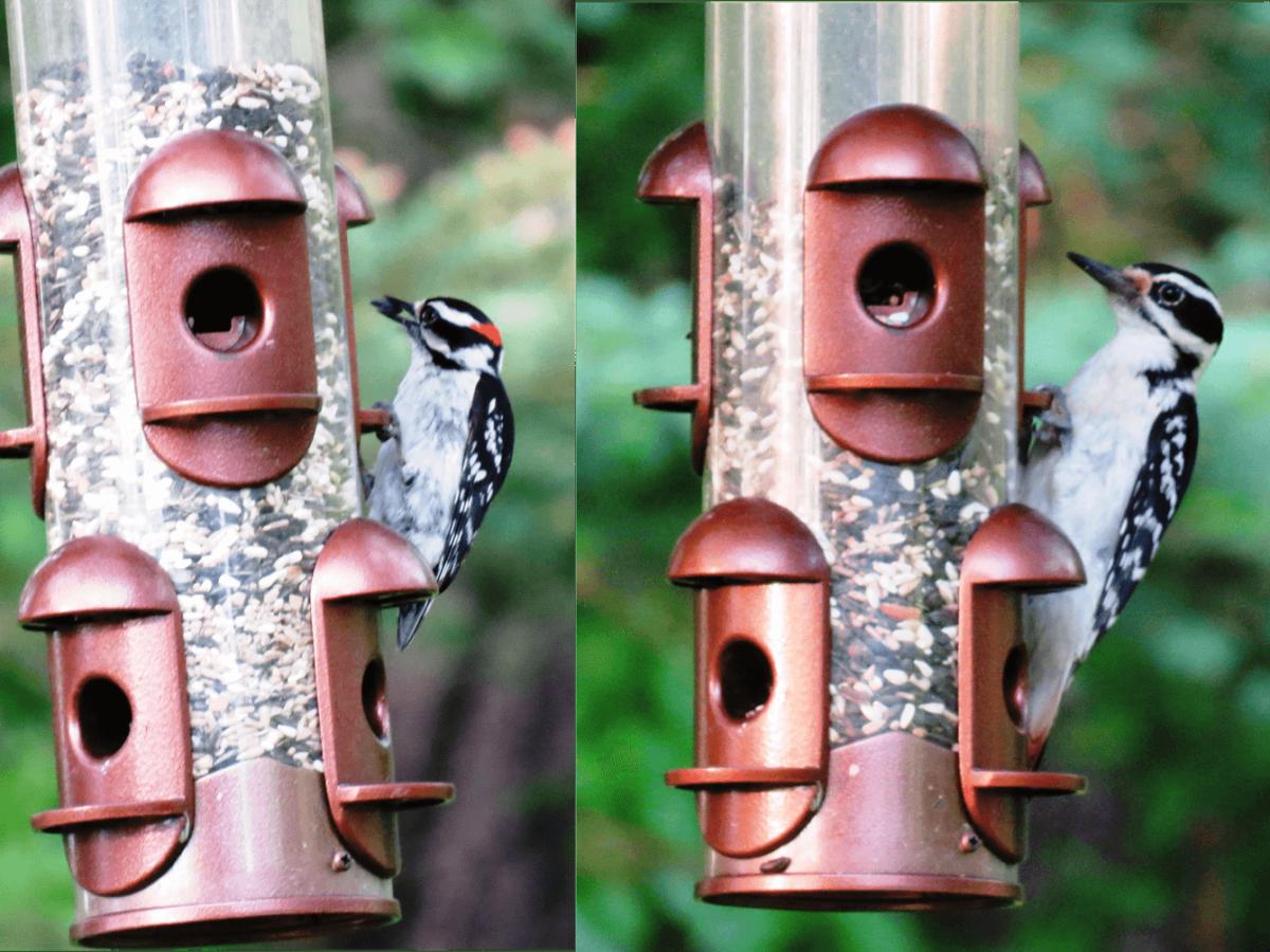 Downy Woodpecker (left) versus Hairy Woodpecker (right)