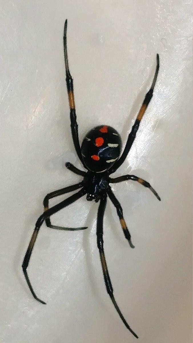 Juvenile Black Widow Spider.