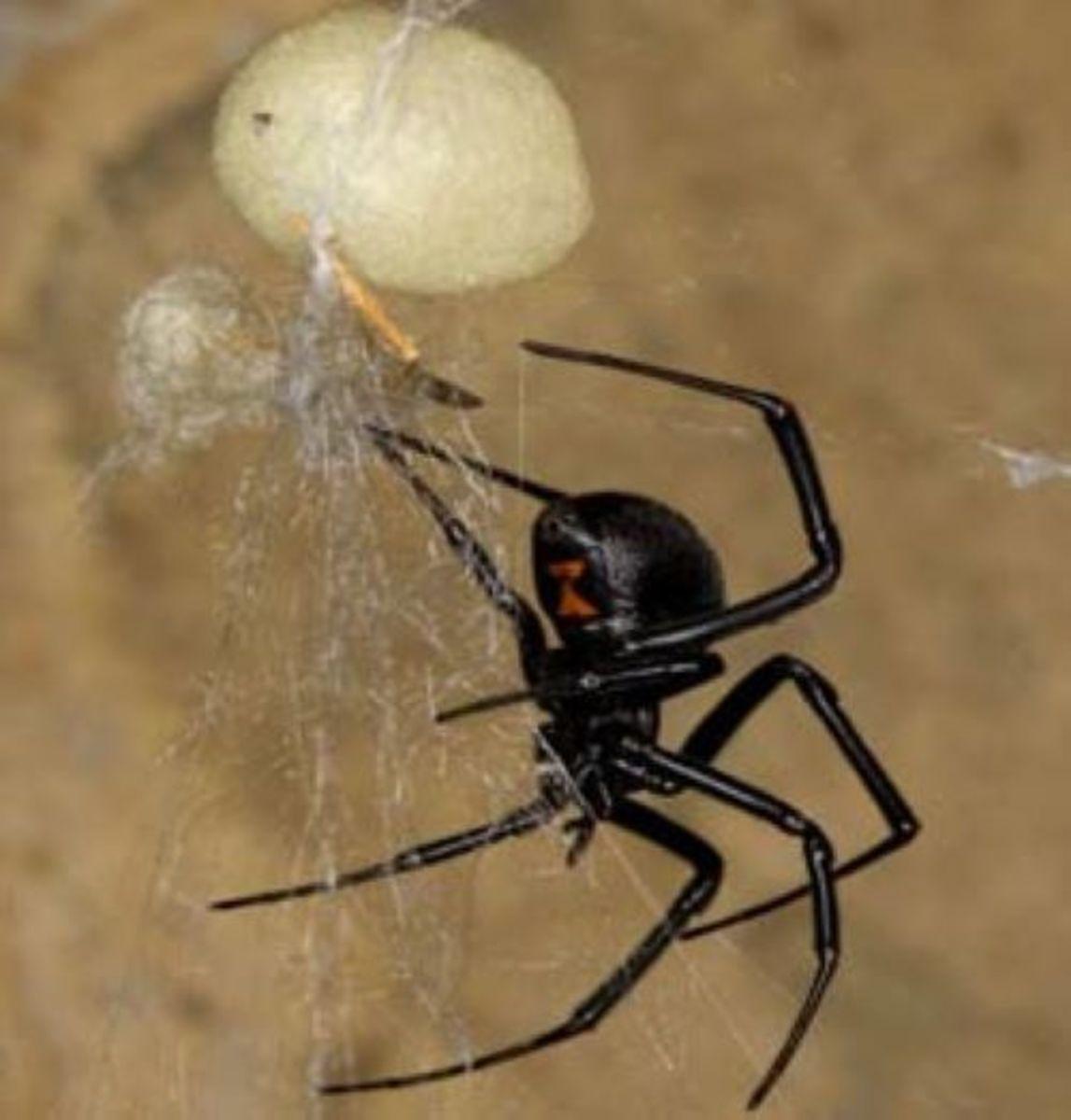 Black Widow alongside egg sac.