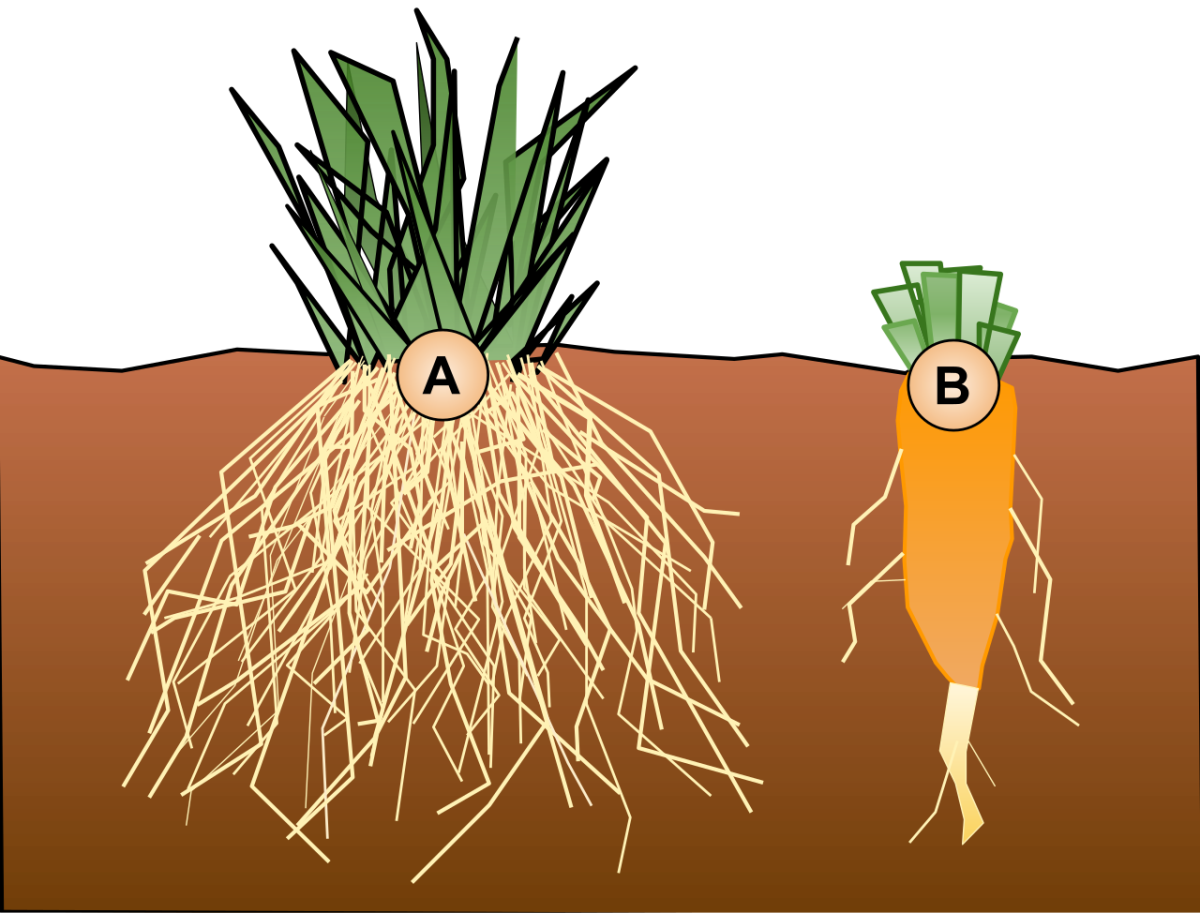 Two main types of roots are the fibrous root system (A) and the taproot system (B).