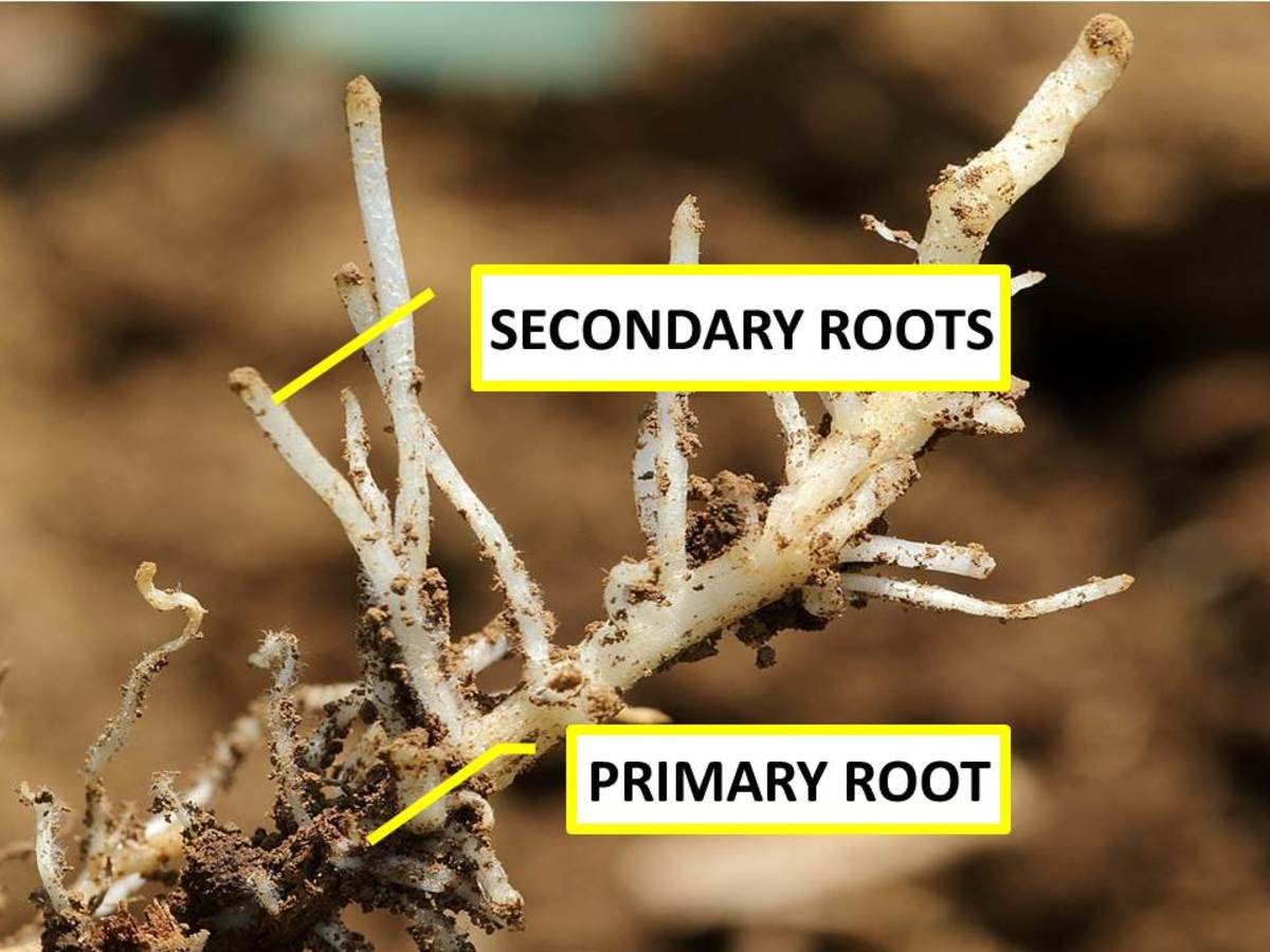 Secondary roots originate from the pericycle of a primary root, and they are made up of many cells.