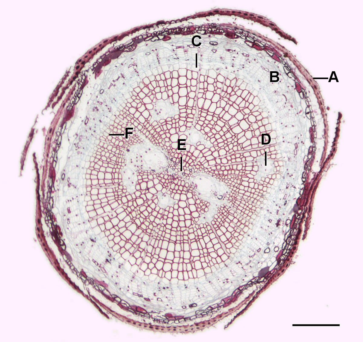 In this image of a pine tree's root, A is the epidermis, B is the cortex, C is the vascular cambium, D is the resin duct, E is the xylem, and F is the phloem.