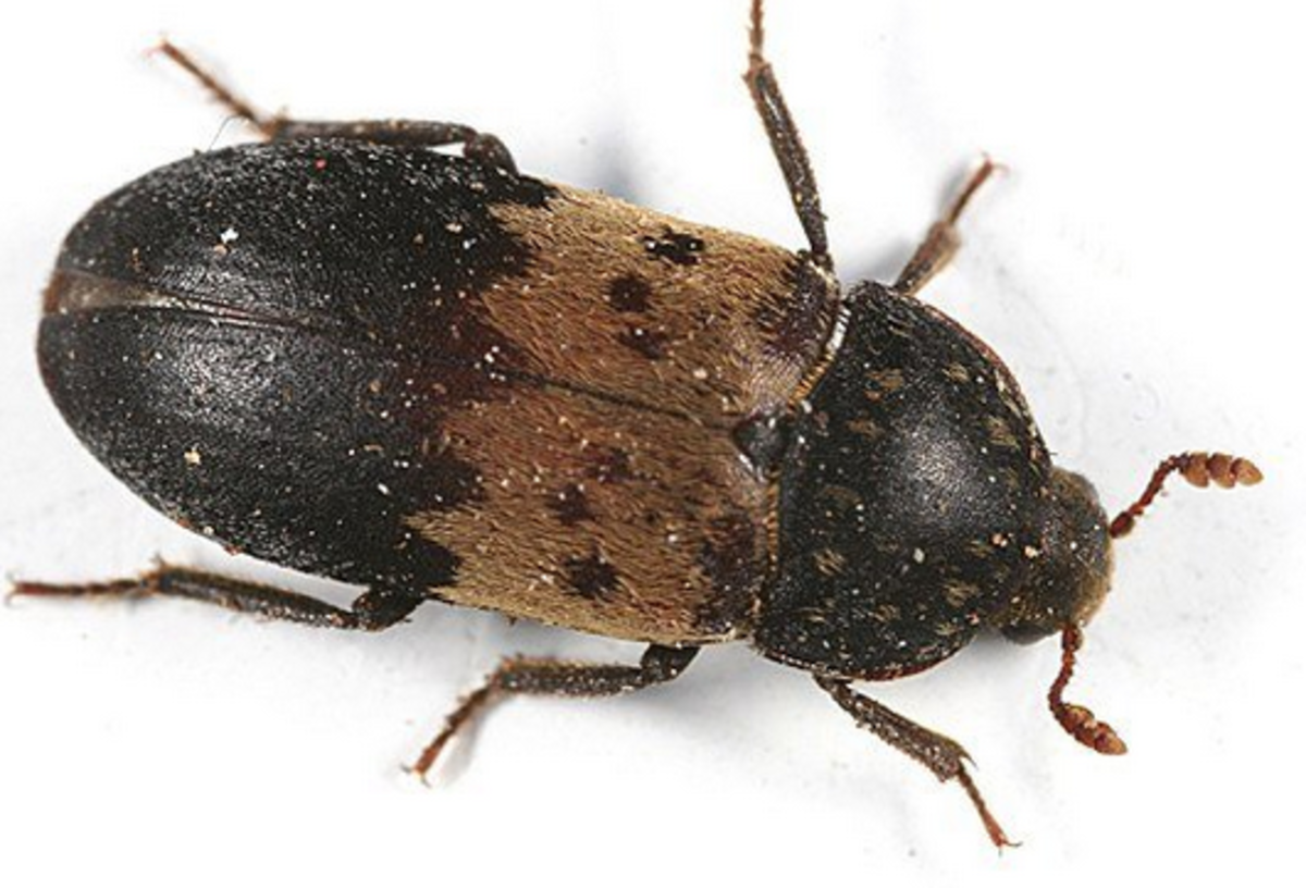 A larder beetle