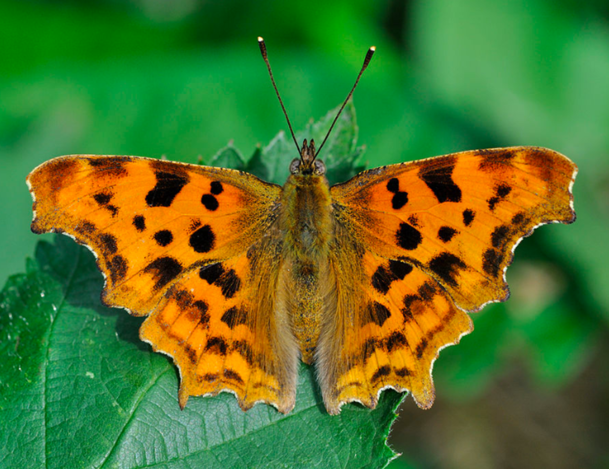 A comma anglewing butterfly